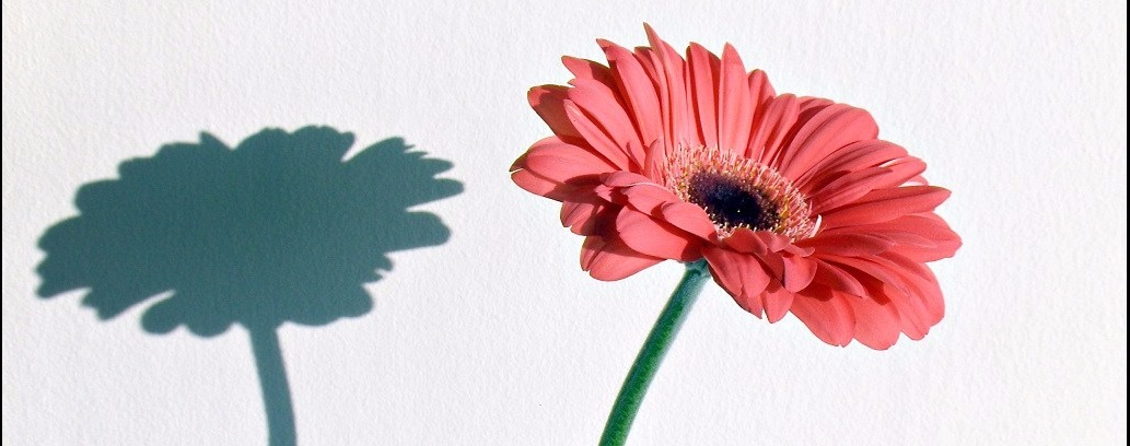 Photo of a single pink gerber daisy and it's shadow on a wall.